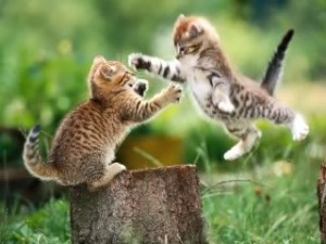 Animals_Cats_Playing_Kitten_015901_